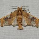 Moth - Parathyris cedonulli