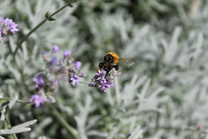 Il declino della biodiversità degli insetti impollinatori. di monica_pisano
