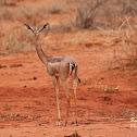 Gerenuk,  Garanuug, Giraffe gazelle
