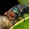 Latrine Blowfly