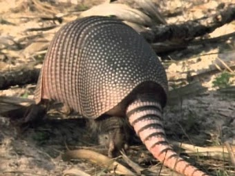 The Amazing Armadillo