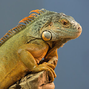 by Jack Nevitt - Animals Reptiles