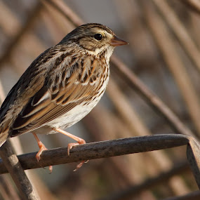Savanna Sparrow by Andrew Johnson - Animals Birds ( bird, nature, wildlife, animal, sparrow )