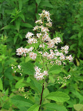 Photo: Spirée à larges feuilles / Spirea alba / Northern meadow-sweet