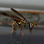 Wasp Mantidfly