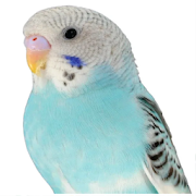 Parakeet sounds