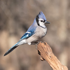 Blue Jay 7625 by Carl Albro - Animals Birds ( blue jay, bird, songbird )
