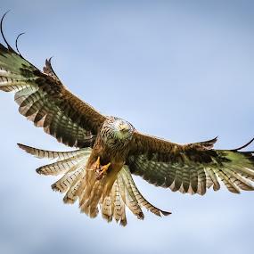 Red Kite by Keith Johnson - Animals Birds ( predator, bird of prey, wales, wildlife, nature up close, red kite )
