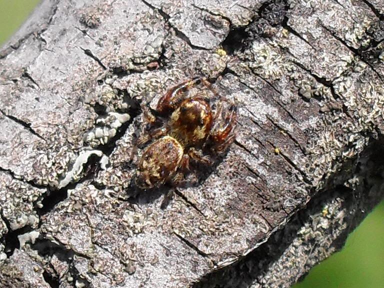 Jumping spider spotting