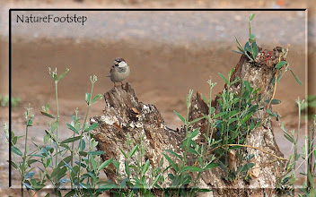 Photo: Italiensk sparv, hane - passer italiae - Italian Sparrow/Cisalpine Sparrow , male NF Photo 121111, Chichaoua, Morocco http://nfmoroccobirds.blogspot.se/2012/12/italiensk-sparv-passer-italiae-italian.html
