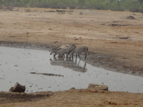 Photo: Cluster of drinking zebras