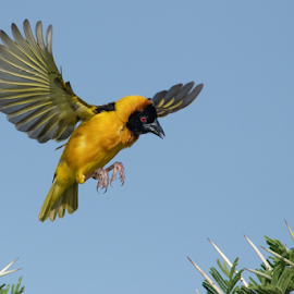 Sharp landing by Tobie Oosthuizen - Animals Birds ( tanzania, africa, serengeti national park, nature, grumeti, birds, lesser masked-weaver, weavers, wildlife )