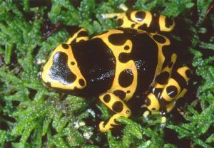 Некоторые виды лягушек-древолазов настолько ядовиты, что их яд даже используется местным населением для изготовления отравленных стрел. О своей несъедобности лягушки предупреждают яркой окраской. (Фото с сайта www.ryanphotographic.com)