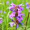 Littleflower penstemon
