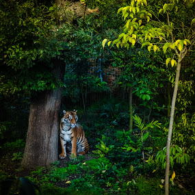 Tiger by a tree by Craig Payne - Animals Lions, Tigers & Big Cats ( eerie, tiger, tree, leafy, vibrant,  )