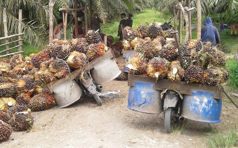 Palm oil a mixed blessing in Indonesia's peat peninsula