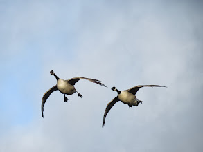 Photo: Priorslee Flash Nothing like a good 'honk' to clear the landing site! A pair of Canada Geese comes in. (Ed Wilson)