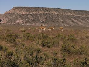 Photo: Vicuña - a wild relative of llamas and alpacas - in Pampas Galeras National Park.