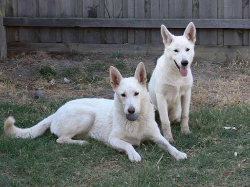 About Fanuilos White Shepherds