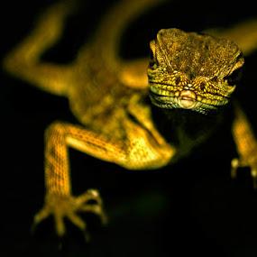Iggy Boy  by Arren Lateo - Animals Reptiles (  )