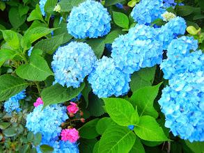 Photo: Beautiful Hydrangeas