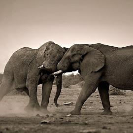 Ellies Sparring  by Pieter J de Villiers - Black & White Animals