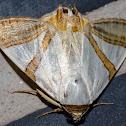 Eulepidotis Moth / Mariposa-Eulepidotis