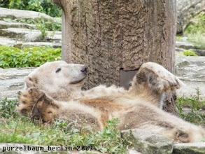 Photo: Knut raekelt sich gemuetlich ;-)