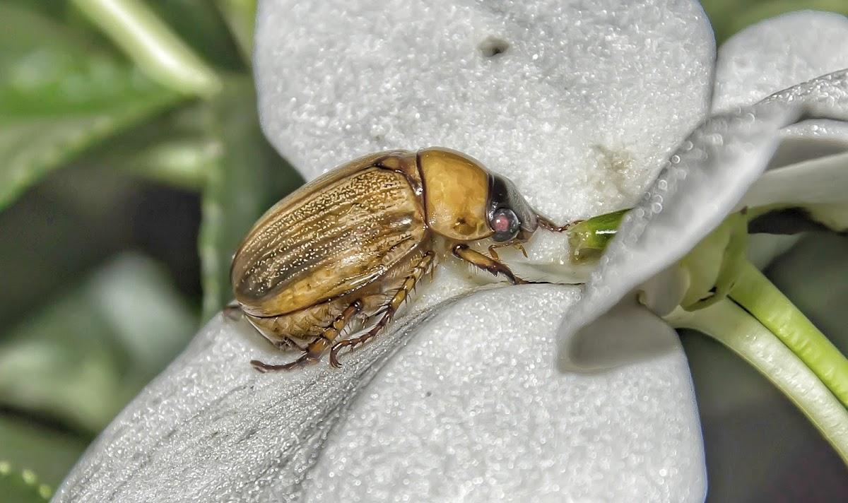 Yellow Beetle / Besouro-Amarelo