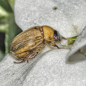 Yellow Beetle / Besouro-Amarelo
