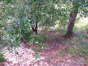 Photo: Here is what the ground looks like under an unmanaged (within 5 years) oak across the road.