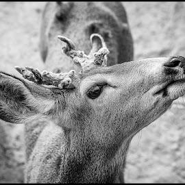 Mule Deer by Dave Lipchen - Black & White Animals ( mule deer )
