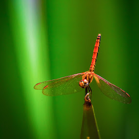 Perch by David Cheok - Animals Insects & Spiders ( perched, david cheok, temburong, brunei, dragonfly,  )