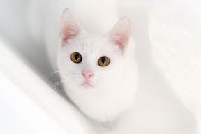 white cat looking up