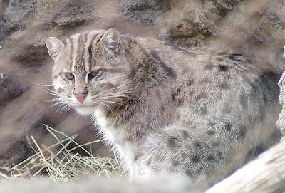 south asian fishing cat