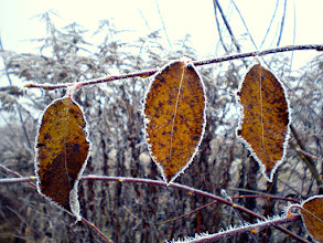 Photo: three leaves hanging on a twig