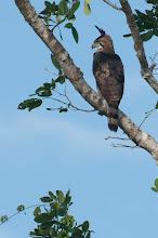 Photo: Ornate Hawk-Eagle (Prachtadler); Bacalar, QROO