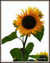 Photo: Sunflower in Offensen
