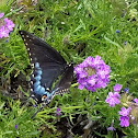 Eastern Black Swallowtail Female