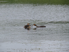 Photo: 27 Jun 13 Priorslee Lake: Two youngsters nearly fall off the female Great Crested Grebe to grab the food brought by the male! (Ed Wilson)