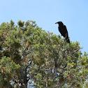 Southwestern Raven
