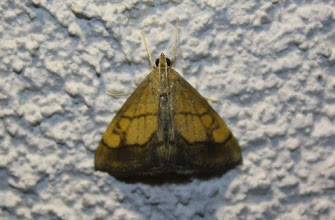 Photo: Evergestis limbata  Lepidoptera > Crambidae