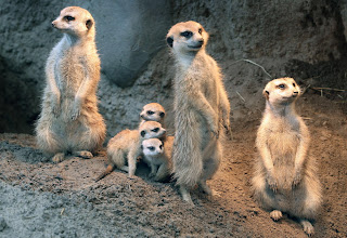 Photo: Three meerkat kits were born in August and just recently have started to come outside their tunnels, appearing above ground in the African elephant exhibit at the Cleveland Metroparks Zoo. The recent births brings the zoo's meerkat mob to eight members. (Chuck Crow, The Plain Dealer)
