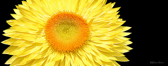 Photo: ...yellow&black...  ...and how about some warm sunshine in this cold otherwise sunny Winter day. The Art of Nature!  #floralphotography   #floral   #floraltoday   #yellow   Just added to my Artflakes Portfolio...Check it out: http://www.artflakes.com/en/products/yellow-and-black
