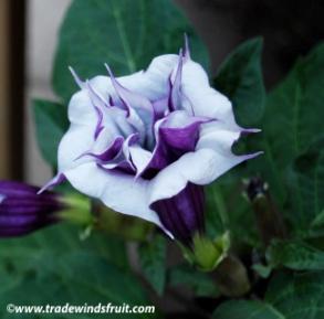 http://www.tradewindsfruit.com/content/images/datura_double_purple2.jpg