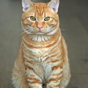 Mars teh red cat by Sorin Rizu - Animals - Cats Portraits ( kitten, cat, mars, feline, portrait, animal,  )