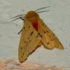 jute hairy caterpillar or Bihar hairy caterpillar