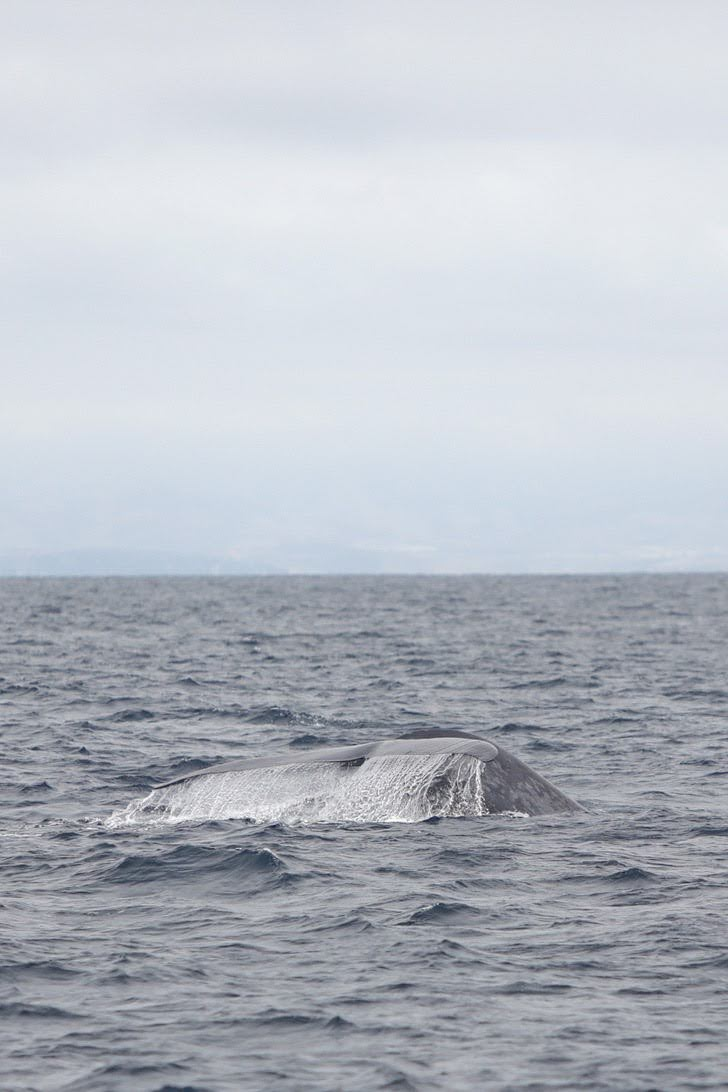 Blue Whale Tail Sighting with Pacific Nature Tours.
