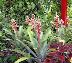 Photo: Bromeliads with Coleus