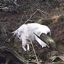 White-tailed Deer (piebald)